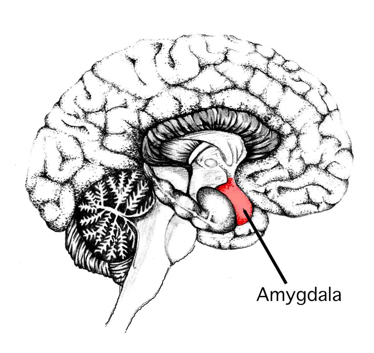 The Amygdala: Function & Psychology Of Fight Or Flight